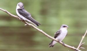 Swallows at Canon Negro