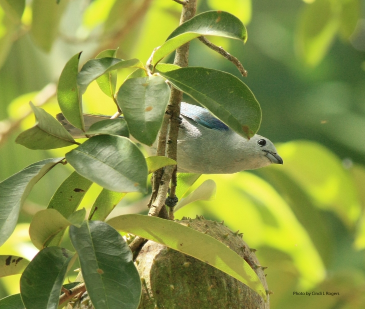 Tanager Blue Gray 2763 crpsatSign