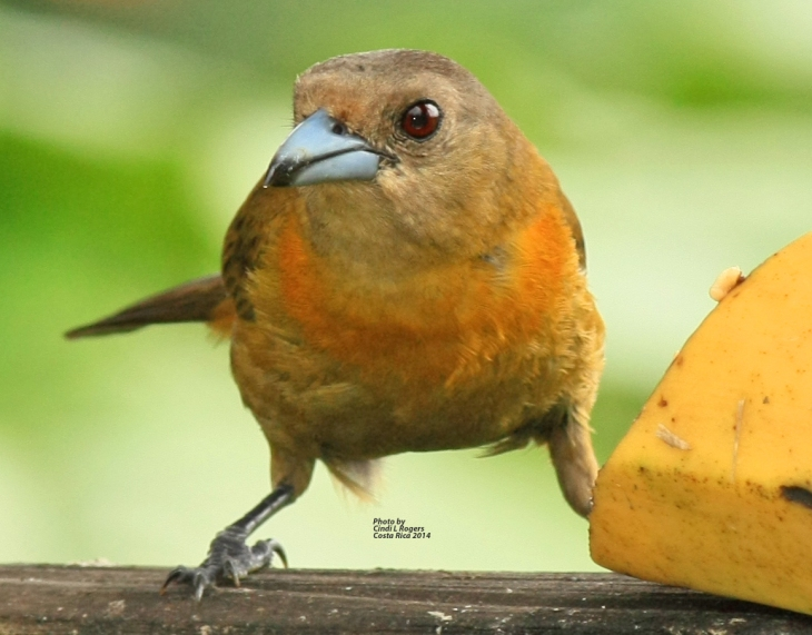 Cherrie's Tanager (female) at The Arenal Green Hotel in La Fortuna