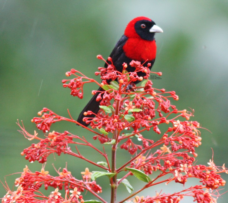 Crimson-collared Tanager (male) at The Arenal Green Hotel in La Fortuna