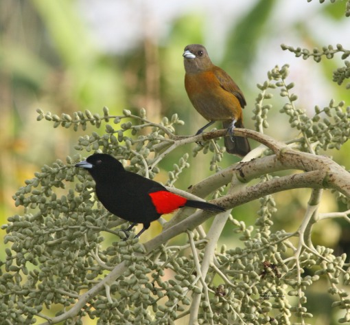 Passerin's Tanager (male & female)