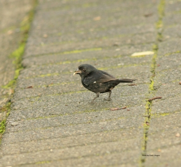 Thick-billed Seed-Finch 2929 crpltSign