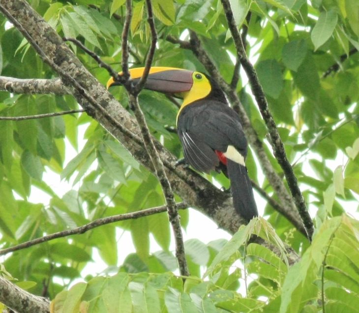 Chestnut-mandibled Toucan at The Arenal Green Hotel in La Fortuna