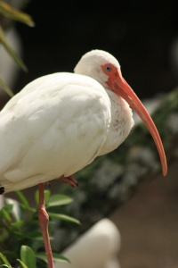 American Ibis