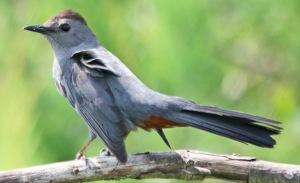 Gray Cat Bird
