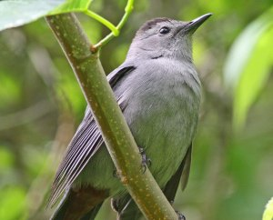 Gray Cat Bird