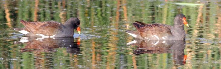 Common Gallinule Duck