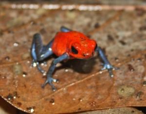 Blue Jean Poison Dart Frog