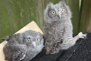 Screech Owls - 4 weeks old