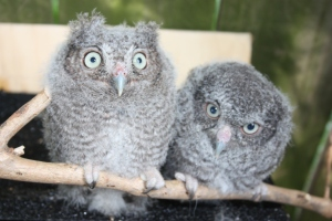Screech Owls - 5 weeks old