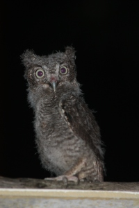 Screech Owl - 5 weeks old