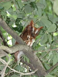 Screech Owl - female