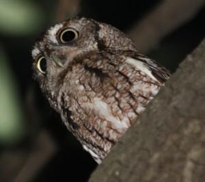 Screech Owl - male