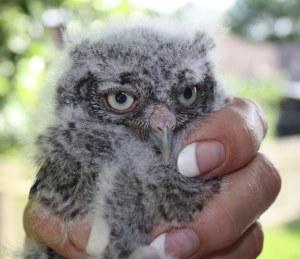 Owlet May 30 3065sm