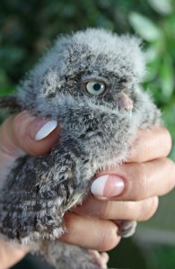 Screech Owl - 4 weeks old