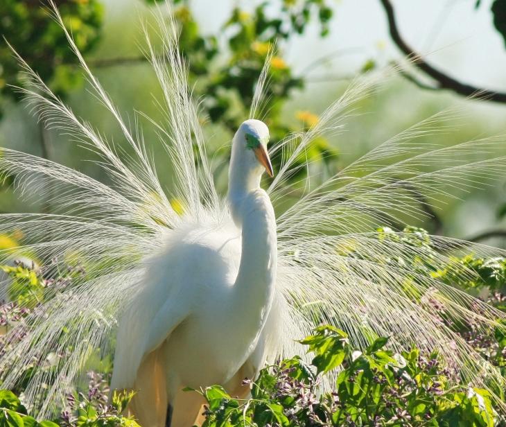Snowy Egret at High Island