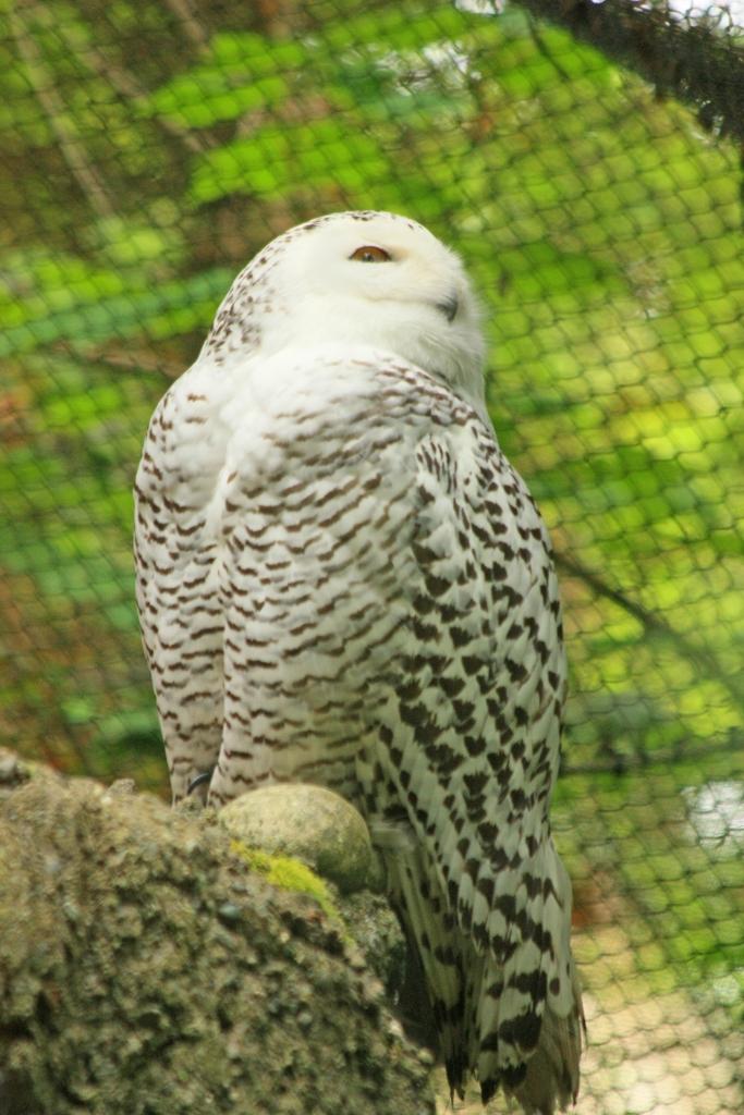 Snowy Owl In Tacoma, Washington